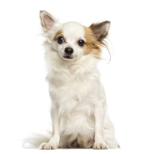 Chihuahua, 3 years old, sitting and facing, isolated on white